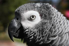 african grey parrot3
