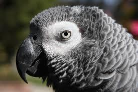 african grey parrot3