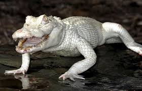 albino3