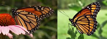 The Monarch is on the left and the Viceroy is on the right! Monarchs are toxic to birds, so it is beneficial to the viceroy to look like them!