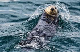 sea otter3