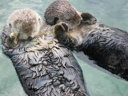 sea otter5