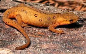 rough skinned newt2