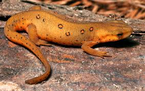 rough skinned newt2