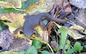 rough skinned newt3