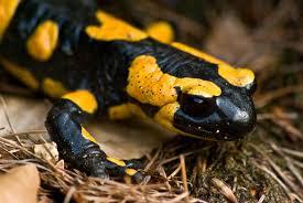 fire salamander2