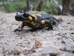 fire salamander3