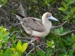 red footed booby4