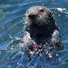 Sea otters who consume large amounts of purple urchins have purple teeth!