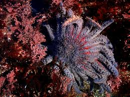 Sunflower stars can swallow a purple urchin whole!