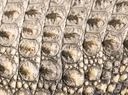 osteoderm