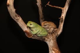 waxy monkey tree frog2