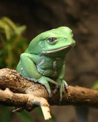 waxy monkey tree frog3