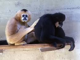 white cheeked gibbon.2