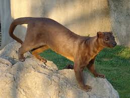 This is a fossa!