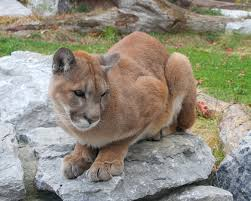 Where does the cougar live?