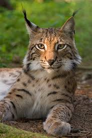 Where does the lynx live?