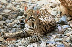 Where does the ocelot live?