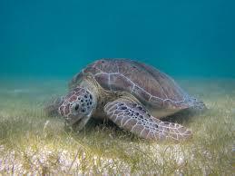 sea turtle3