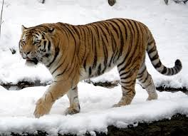 Where does the Amur tiger live?