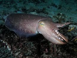 cuttlefish3