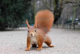 red squirrel3