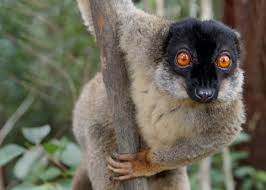 collard brown lemur