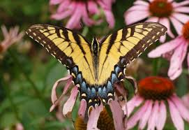 Butterflies have taste receptors in their feet.