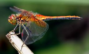 Dragonflies can fly up to 50 mph.