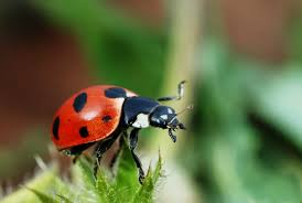 Ladybugs can eat up to 5,000 aphids in its lifetime.