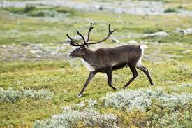 This is Steve! Reindeer are also known as caribou. They