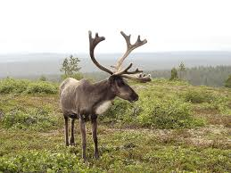 Reindeer have many different color variations. The ones that live closer to the arctic have white or light colored fur.