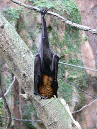 A bat's back feet are super grippers! These feet can hold a bat upside down while they sleep! They have a special tendon that does not require any energy to keep this grip! Bat feet might just be the coolest!