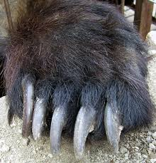 Bear paws are large and have claws that extend two inches from the paw. Bears walk from heal to toe, just like humans!