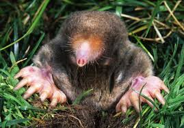 Moles have sideways feet! Their feet are built for digging. A great adaptation for an animal that lives underground.