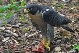 peregrin falcon2