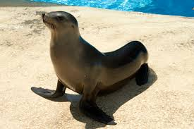 "Sea lion ""feet"" are called flippers. These flippers have 5 digits and are made to swim! Good thing for these marine mammals."