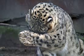 Snow leopard feet are wide and act like snow shoes in their snowy habitat.