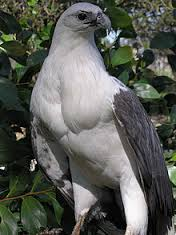 white bellied sea hawk