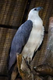 white bellied sea hawk3