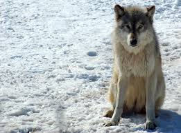 Gray wolves have blood vessels in their paws that act as heating pads keeping their feet warm in cold weather.
