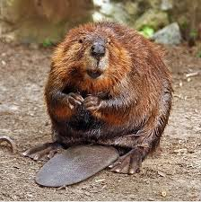 Beavers are rodents who use their large front incisors to chew down trees. The way they chew actually causes their teeth to get sharper. Their teeth are covered in an orange enamel!
