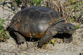 gopher tortoise2