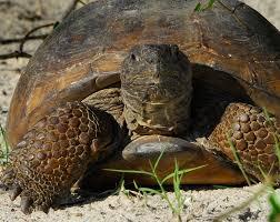 gopher tortoise3
