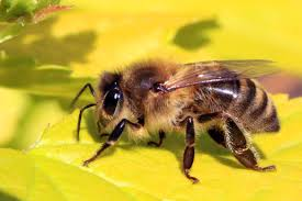 Honey bees are also herbivores! They don't have teeth to drink nectar and pollen.