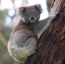 Koala teeth act like scissors to help them cut through eucalyptus. These marsupials eat eucalyptus exclusively.