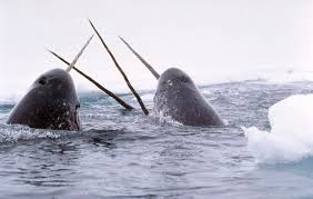 Narwhals are one species of toothed whales. They have one unusual tooth adaptation. The males have a specialized large tooth that grows outside of their mouth. Scientists are not sure what this tooth is for yet.