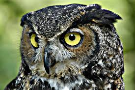 Owls are also raptors. They use their beaks to grab rodents. They have no teeth to chew, so prey is swallowed whole.