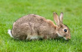 Rabbits have 28 teeth, including 4 incisors that grow throughout the rabbits lifetime!