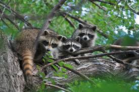 Raccoons are also omnivores. The have regular omnivore teeth, but their top incisors have one sharp edge to help them eat nuts, berries, rodents and frogs.
